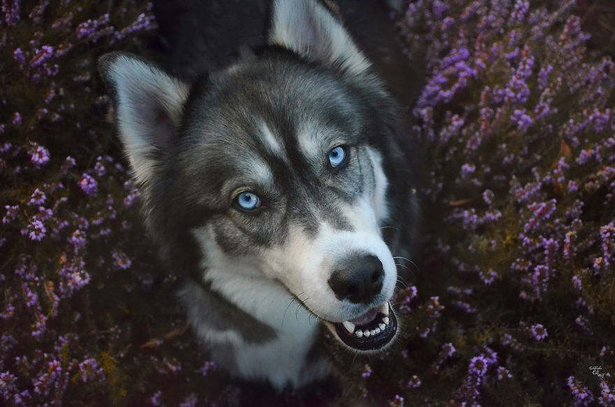 i-rescued-a-husky-and-later-he-saved-me-from-an-abusive-relationship__vinegret (5)