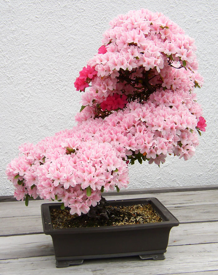 amazing-bonsai-trees-vinegret (1)