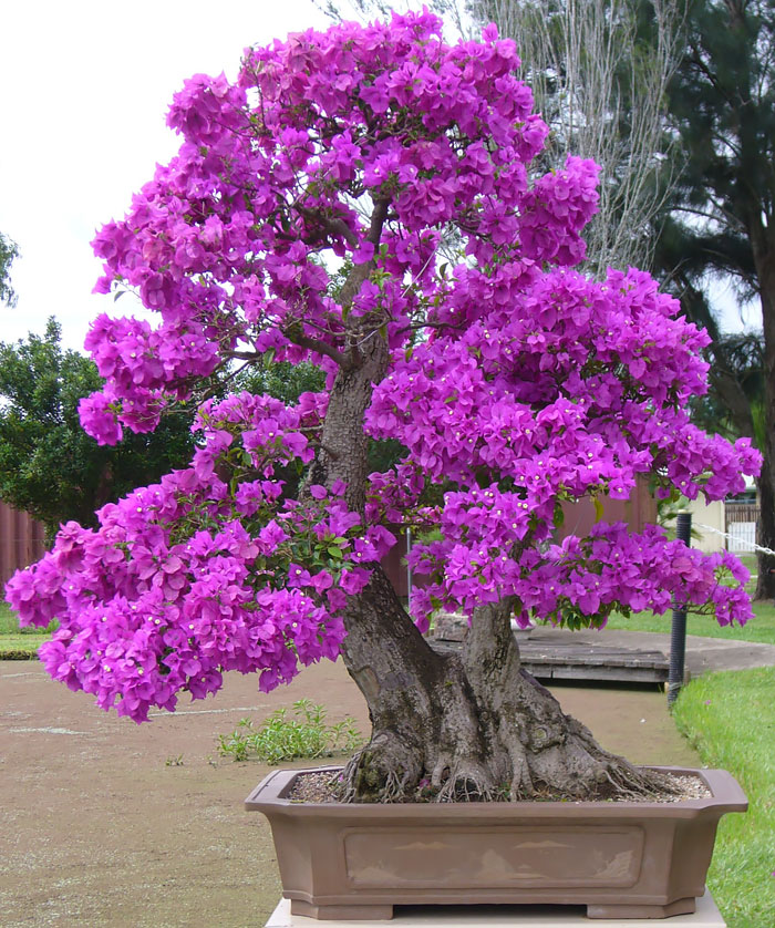 amazing-bonsai-trees-vinegret (10)