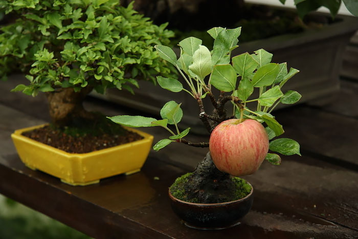 amazing-bonsai-trees-vinegret (12)