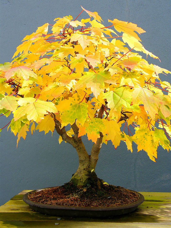 amazing-bonsai-trees-vinegret (16)