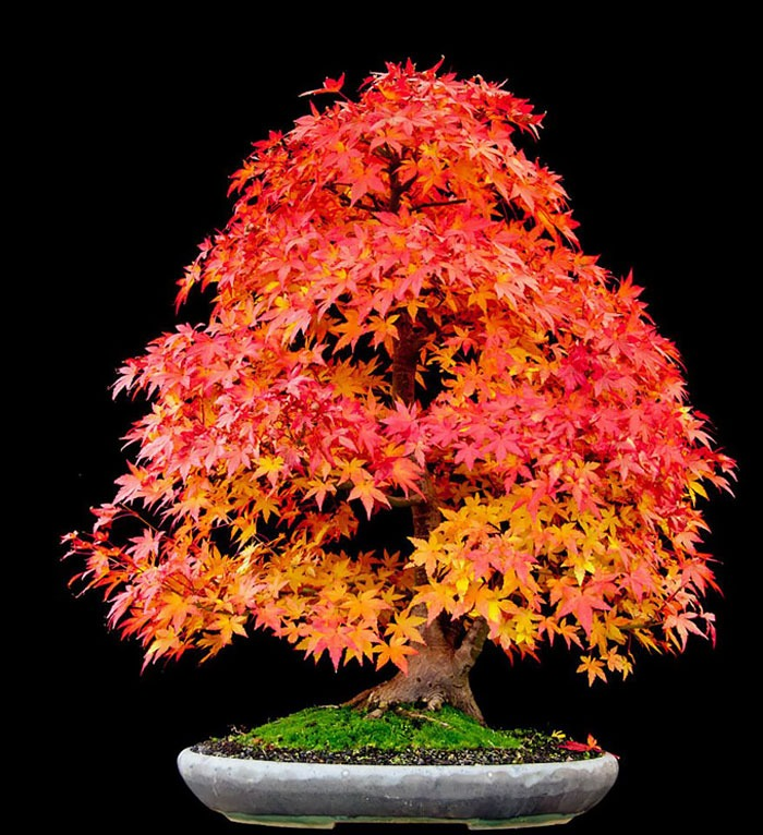 amazing-bonsai-trees-vinegret (18)