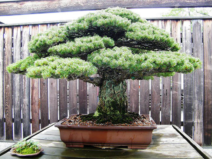 amazing-bonsai-trees-vinegret (22)