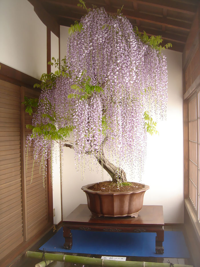 amazing-bonsai-trees-vinegret (3)