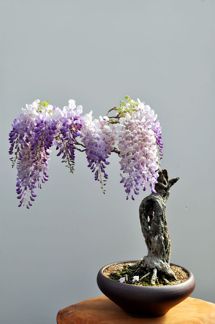 amazing-bonsai-trees-vinegret (4)