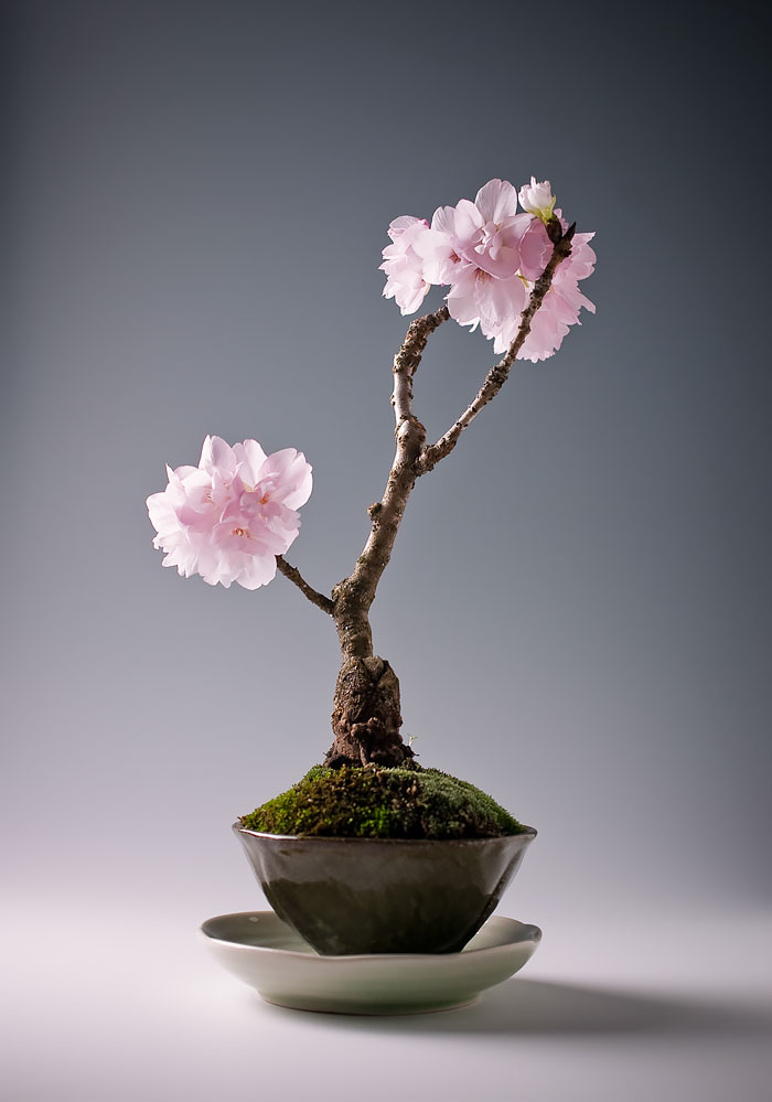 amazing-bonsai-trees-vinegret (5)