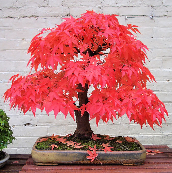 amazing-bonsai-trees-vinegret (6)
