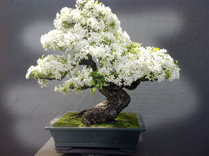 amazing-bonsai-trees-vinegret (7)