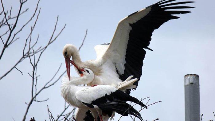 stork-flies-thousands-miles-friend-klepetan-malena-croatia-vinegret (1)