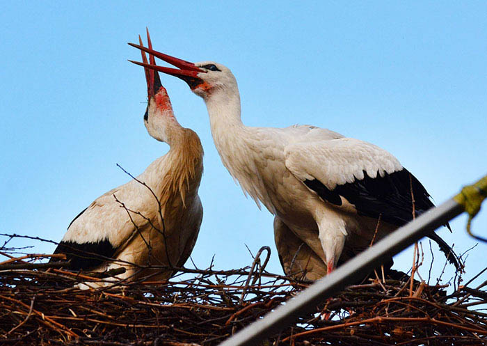 stork-flies-thousands-miles-friend-klepetan-malena-croatia-vinegret (5)