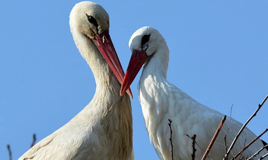 stork-flies-thousands-miles-friend-klepetan-malena-croatia-vinegret (7)