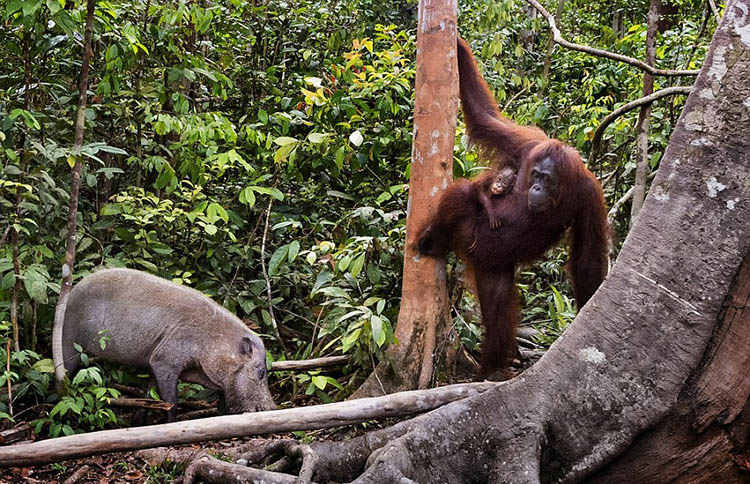 The-female-orangutan-drove-a-stick-boar-from-her-cub-vinegret (2)