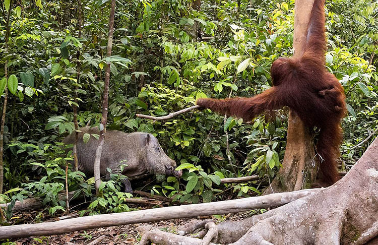 The-female-orangutan-drove-a-stick-boar-from-her-cub-vinegret (3)