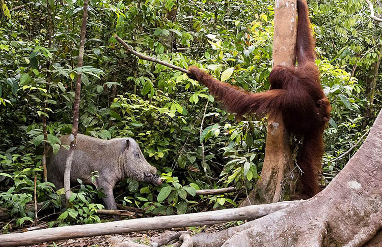 The-female-orangutan-drove-a-stick-boar-from-her-cub-vinegret (5)