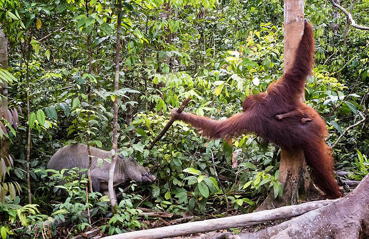 The-female-orangutan-drove-a-stick-boar-from-her-cub-vinegret (6)
