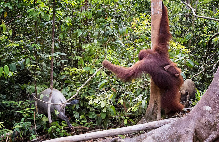 The-female-orangutan-drove-a-stick-boar-from-her-cub-vinegret (8)