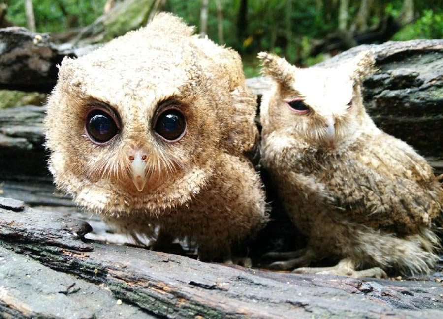 The-rescued-owlets-who-conquered-millions-of-Chinese-vinegret (1)