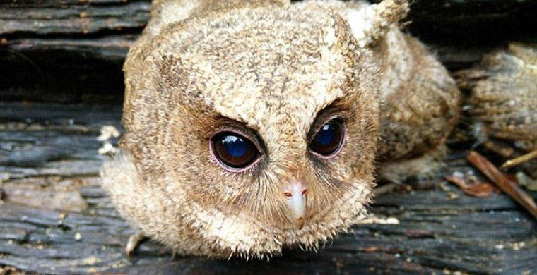 The-rescued-owlets-who-conquered-millions-of-Chinese-vinegret (4)