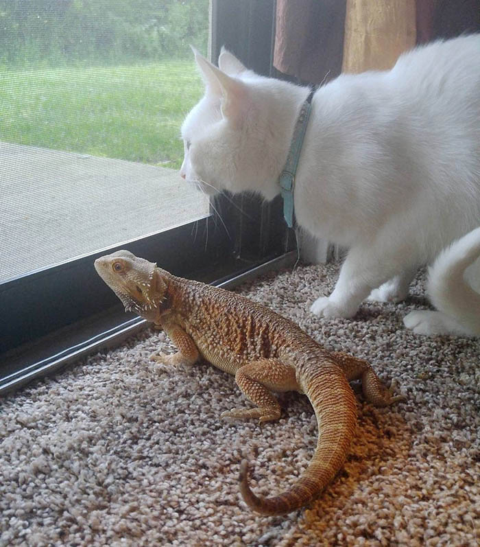bearded-dragon-cat-friendship-sleep-together-charles-baby-vinegret (1)