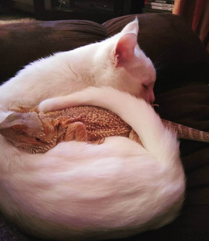 bearded-dragon-cat-friendship-sleep-together-charles-baby-vinegret (2)