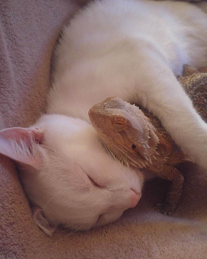 bearded-dragon-cat-friendship-sleep-together-charles-baby-vinegret (3)