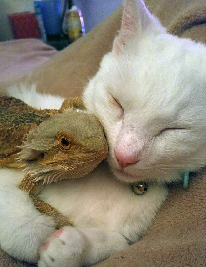 bearded-dragon-cat-friendship-sleep-together-charles-baby-vinegret (6)