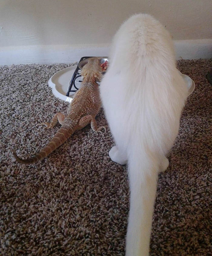 bearded-dragon-cat-friendship-sleep-together-charles-baby-vinegret (8)