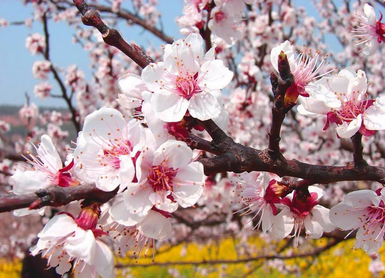 blooming-apricot-valley-yili-china-vinegret (1)
