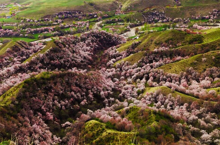 blooming-apricot-valley-yili-china-vinegret (10)