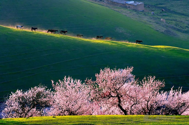 blooming-apricot-valley-yili-china-vinegret (11)