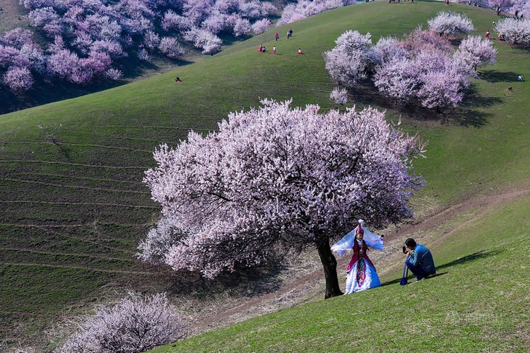 blooming-apricot-valley-yili-china-vinegret (3)
