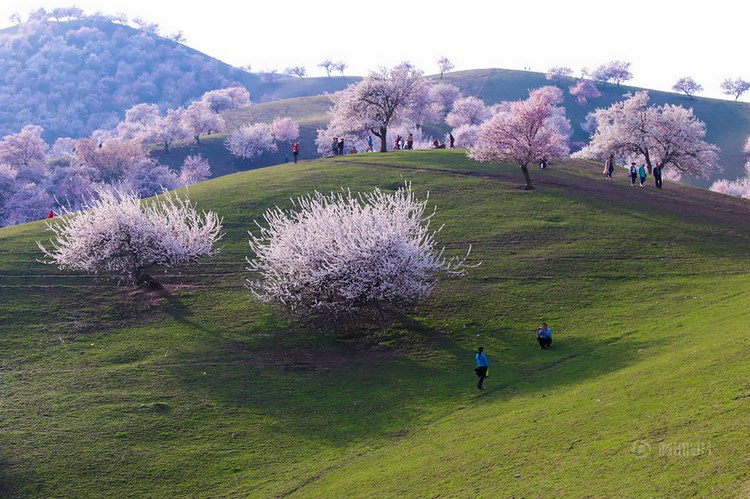 blooming-apricot-valley-yili-china-vinegret (4)