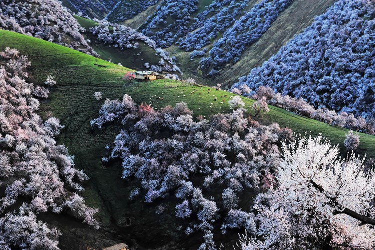 blooming-apricot-valley-yili-china-vinegret (6)