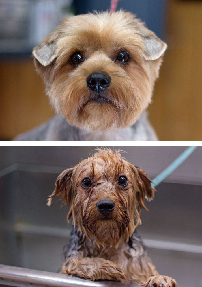 funny-wet-pets-before-after-bath-dogs-cats-vinegret (10)