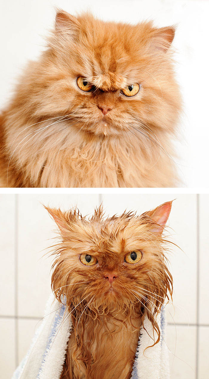 funny-wet-pets-before-after-bath-dogs-cats-vinegret (12)