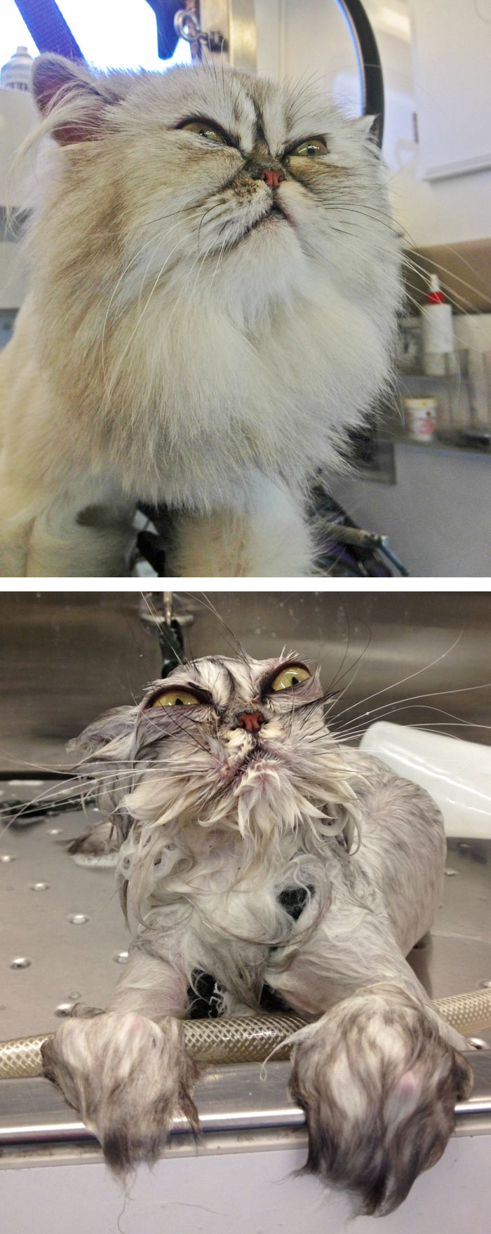 funny-wet-pets-before-after-bath-dogs-cats-vinegret (13)