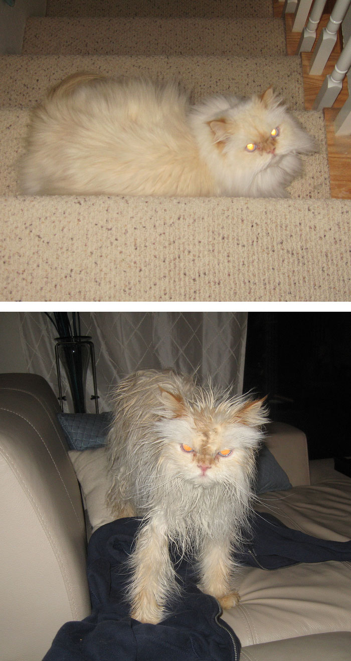 funny-wet-pets-before-after-bath-dogs-cats-vinegret (14)