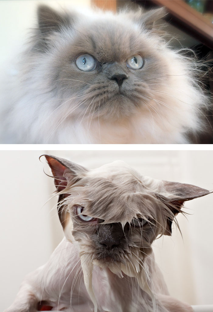 funny-wet-pets-before-after-bath-dogs-cats-vinegret (20)