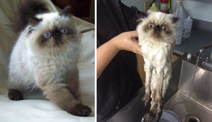funny-wet-pets-before-after-bath-dogs-cats-vinegret (21)
