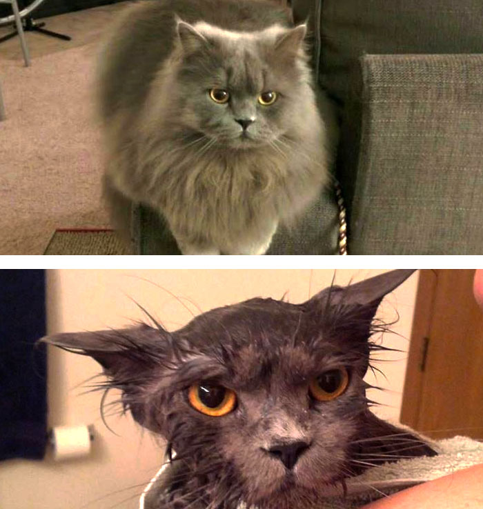 funny-wet-pets-before-after-bath-dogs-cats-vinegret (24)