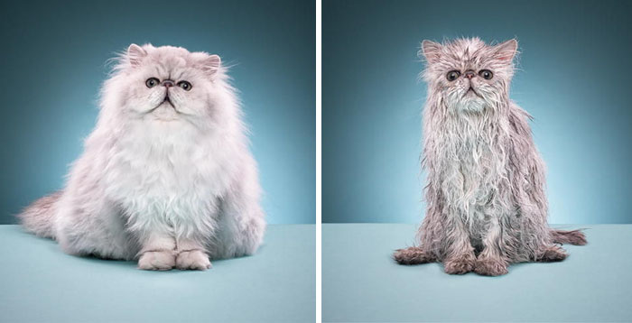 funny-wet-pets-before-after-bath-dogs-cats-vinegret (3)