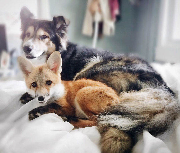 juniper-pet-fox-dog-friendship-moose-vinegret (1)