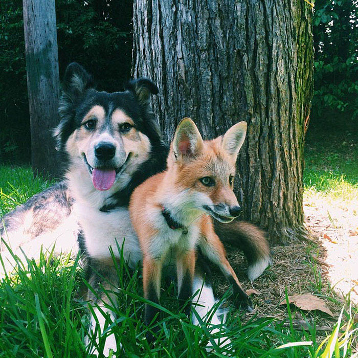 juniper-pet-fox-dog-friendship-moose-vinegret (7)