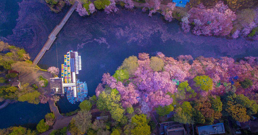 sakura-cherry-blossom-drone-photography-danilo-dungo-japan-vinegret (3)