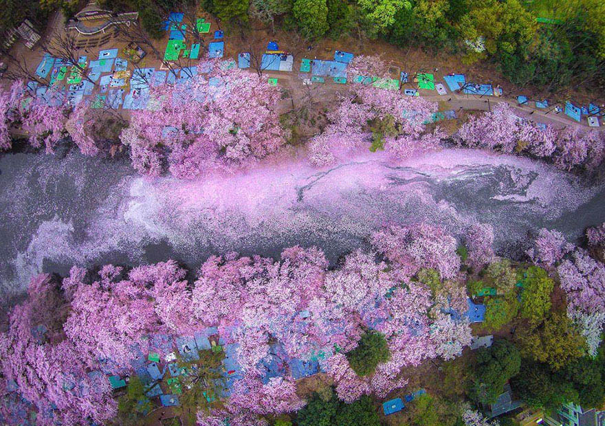 sakura-cherry-blossom-drone-photography-danilo-dungo-japan-vinegret (4)