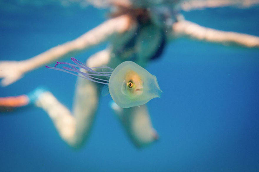 fish-trapped-inside-jellyfish-vinegret (1)