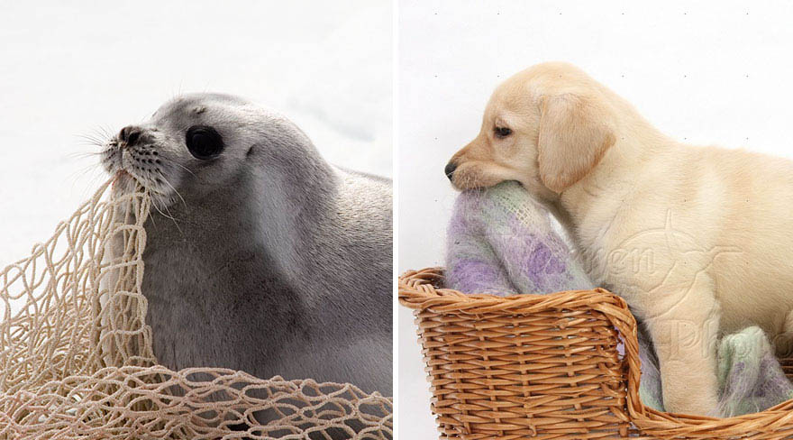 funny-seals-look-like-dogs-vinegret (15)
