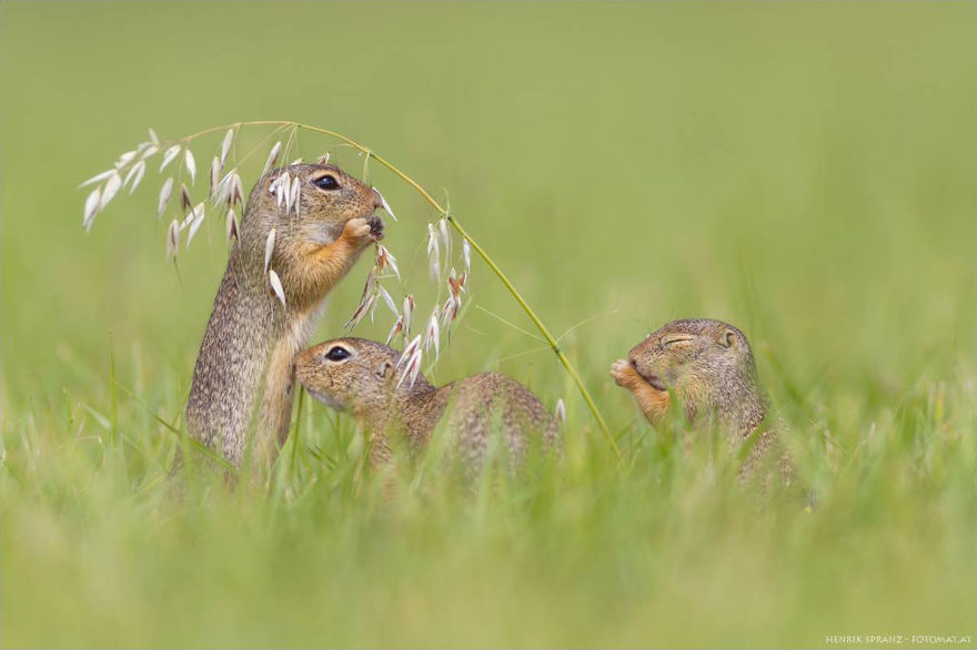 Henrik_Spranz_european_ground_squirrels (1)