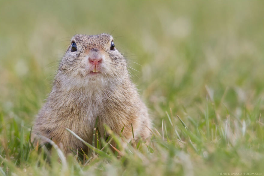 Henrik_Spranz_european_ground_squirrels (17)