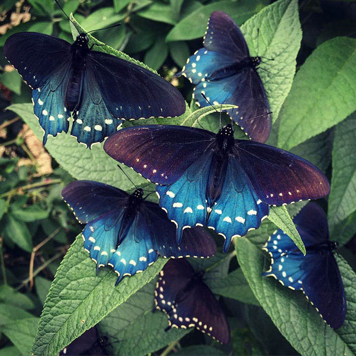 rare-blue-swallowtail-pipevine-butterfly-repopulation-tim-wong-vinegret (1)